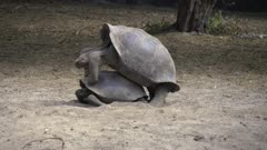Giant Tortoises mating in the Galapagos