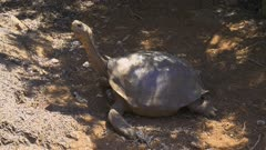 Giant Tortoise in the Galapagos