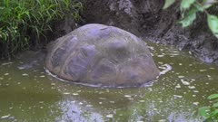 Giant Tortoise in a pond in the Galapagos