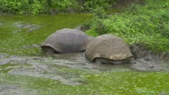 Giant Tortoises in a pond in the Galapagos