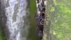 Bullet Ants on side of tree