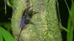 Tarantula on tree in the Amazon Jungle