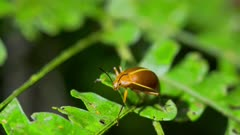 Beetle on Amazon jungle foliage