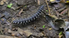 Millipede on Amazon jungle floor