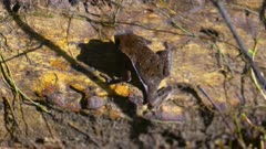 Toad in leaf litter on jungle floor