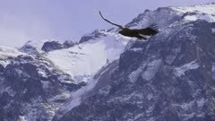 Condor flying above Colca Canyon