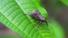 Weevil on Amazon jungle foliage