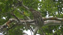 Sloth in Amazon treetops