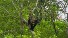 Wooly Monkey in Amazon treetops