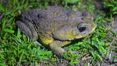 Cane Toad in vegetation on jungle floor