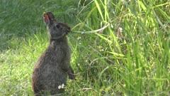 marsh rabbit feeds on grass in Florida