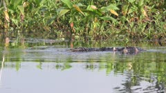 Florida alligators territorial fight during mating season