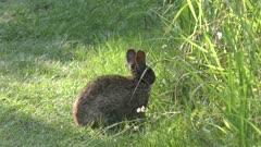 marsh rabbit feeds in Florida grassland