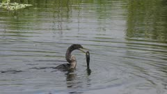 anhinga swallows a large fish in Florida pond