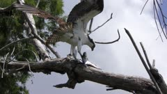osprey perched with a large fish in Florida wetlands