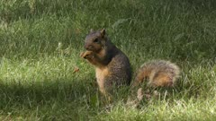 american fox squirrel feeds in the  grass