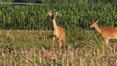 white tailed deer feed in a field