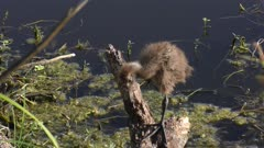 limpkin chick perched on a branch near lake