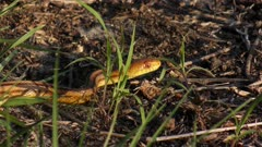 Yellow Rat Snake slithers in Florida wetlands