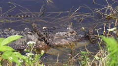 baby alligators on their mother head and back
