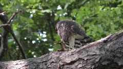 Cooper's hawk feeding on chipmunk on a branch