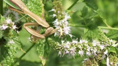 large praying mantis on a plant