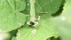 praying mantis feeds on a big ant