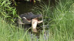 alligator with a fish hiding in a swamp