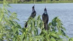 Boat-tailed Grackles spring song near Florida lake