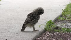 young barred owl playing with a caterpillar
