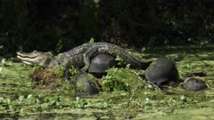 Young alligator sunning with turtles in Florida swamp