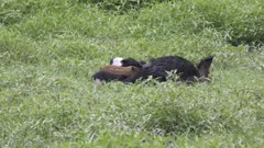 Wild boar mother feeding her piglets in Florida wetlands