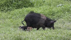 Wild boar mother with her piglets