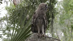 young barred owl looking around in Florida woods
