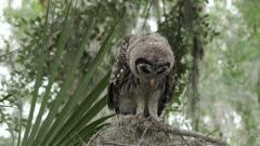 young barred owl looking around