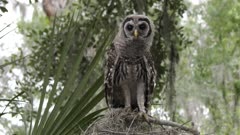 young barred owl looks around and flies towards a camera