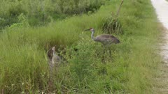 sandhill cranes feeds on wild berries
