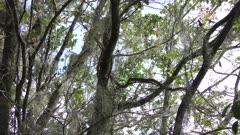 Yellow ratsnake on a tree
