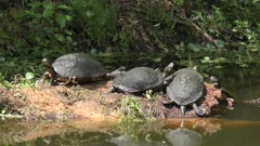 Florida turtles basking in a swamp