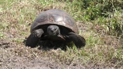 Gopher Tortoise walks towards camera in Florida wetlands