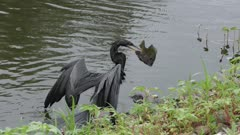 anhinga with a large fish near Florida lake