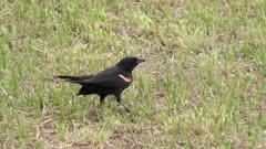 Male Red-winged Blackbird eats a grasshopper