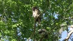 Barred Owl with its owlet on a tree