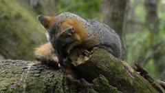 Gray Fox resting on a tree