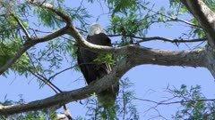 Bald Eagle perches on a branch