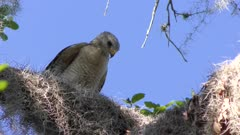 Red-Shouldered Hawk feeds on a frog