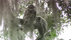 Barred Owl with its owlet