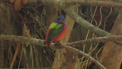 painted bunting male in Florida woods