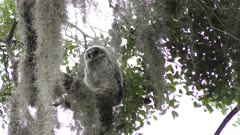 Baby Barred Owl on a branch