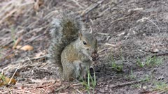 gray squirrel eating in Florida woods